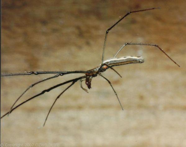 Long Jawed Spider | Tetragnatha sp photo
