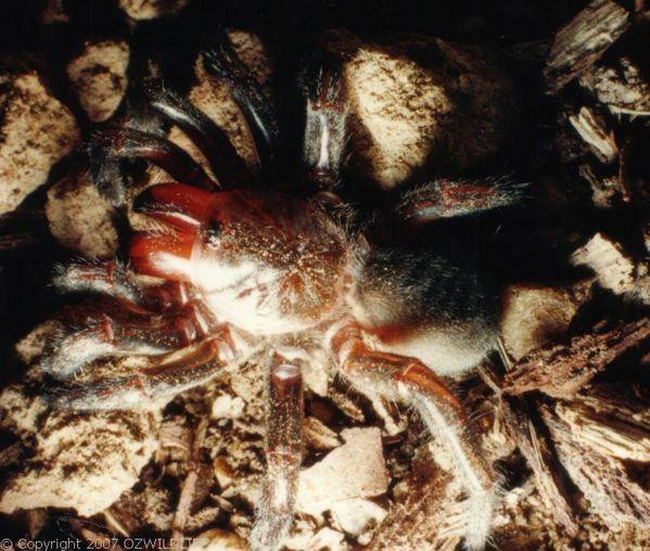 Trapdoor Spiders Bite: Golden Trapdoor Spider (Arbanitis Sp
