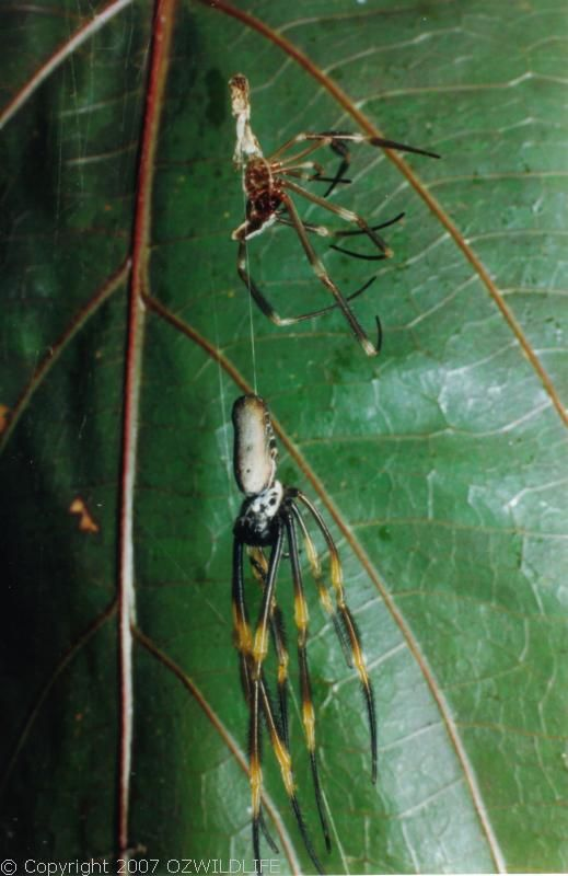 Golden Orb Weaver Spider | Nephila edulis photo