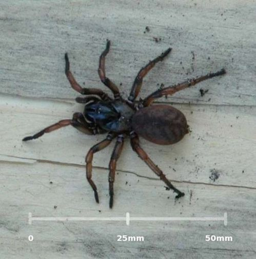 Melbourne Trapdoor Spider | Stanwellia grisea photo