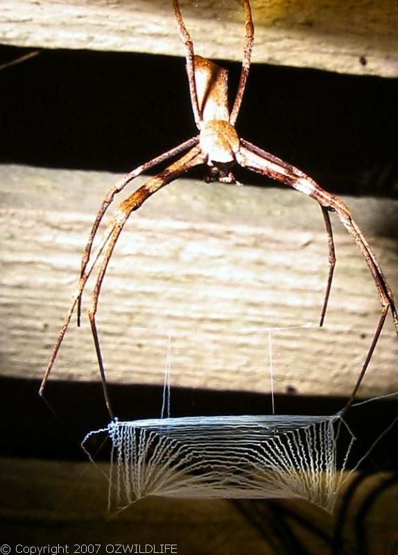 Net-casting Spider | Deinopis subrufa photo