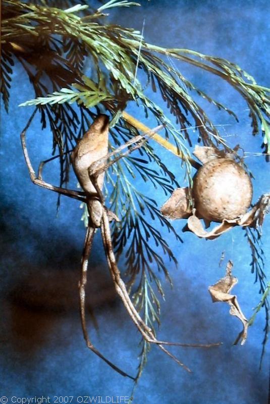 Net-casting Spider | Deinopis subrufa photo