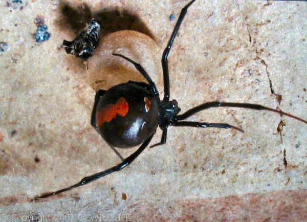 Redback Spider | Latrodectus hasselti photo