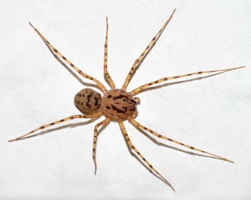 Spitting Spider | Scytodes thoracica photo