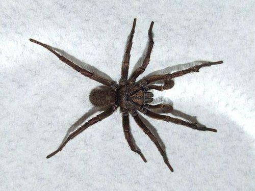 Sydney Brown Trapdoor Spider   Misgolas rapax photo