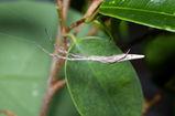 stick spider