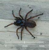 Melbourne Trapdoor Spider