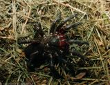 Golden Trapdoor Spider