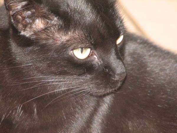 Http Www Wotcat Com Breed Bombay Cat Html