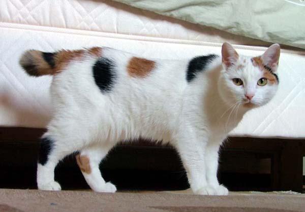 Manx Cat photo
