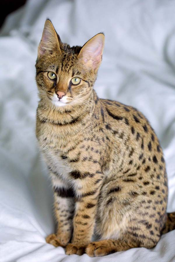 Savannah Cat photo