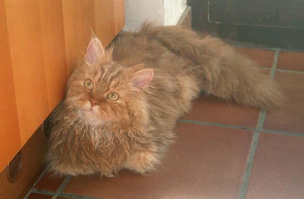 Selkirk Rex Cat photo
