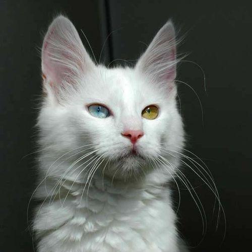 Turkish Angora Cat photo