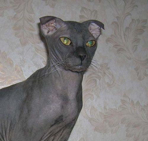 Ukrainian Levkoy Cat photo