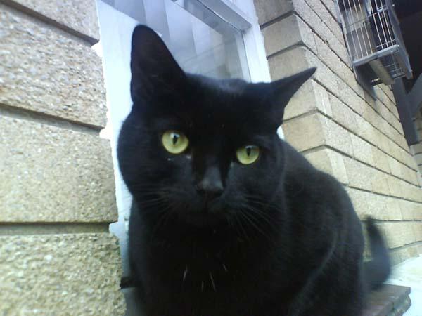 Bombay Cat photo