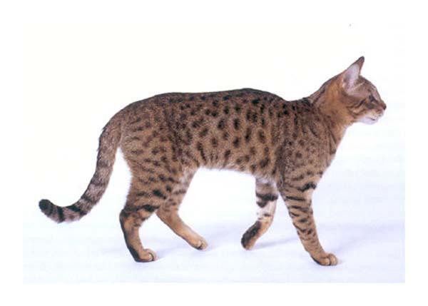 California Spangled Cat photo
