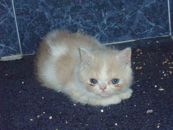 Exotic Cat photo