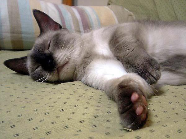 Munchkin Cat photo