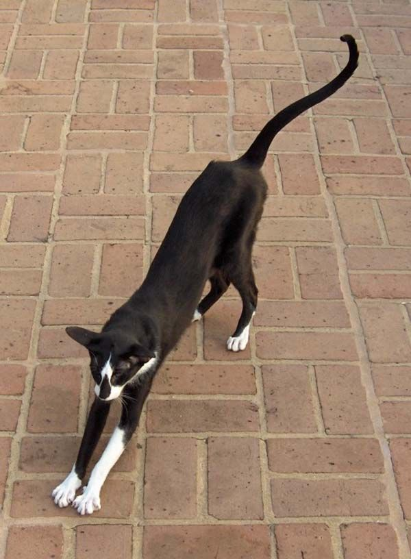 Oriental Shorthair Cat photo