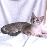 The Australian Mist is shaped like any other short haired domestic cat and is well proportioned. Its coat is short but thick and is silky to touch. Their eyes are green and communicative. There are...