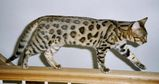 The Bengal is a large, robust cat with a firm, muscular build. As with most cats, their hind legs are a little longer than their front legs, and their heads are well proportioned to the body and...