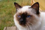Birmans are a semi-longhaired breed of cat with robust bodies and short legs. Their paws should be small and round. Birmans' fur is white on most of their bodies and on the paws, with markings on the...