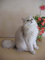 This cat has a medium-to-long, fluffy coat and a short thick, bushy tail. The British Longhair, or Lowlander's, head is broad and round. Its ears are short and rounded at the tips, sitting quite far...