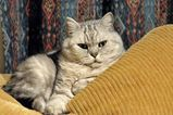 British Shorthairs are sturdily built, with a powerful, muscled body with a broad chest. Their coats are short and thick. They also have strong, short legs and round paws. Their tails are thicker at...