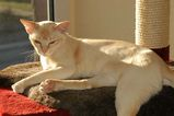 Burmese cats are slim, sleek animals with very short coats and bright golden yellow eyes. Their paws are small and oval shaped and their heads are relatively flat. They have large pointed ears and...