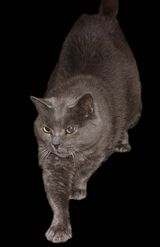 The Chartreux cat is large in size and has blue grey fur. Its eyes are generally copper, but range from this through to gold and orange, which is the desirable eye colour for the cat. Their fur is...