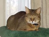 The Chausie cat resembles a wild jungle cat in both coat and size. In fact, the Chausie gets its name from the Jungle Cat from which it is descended: the Felis Chaus. They weigh twice (or even three...