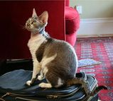 The most distinctive feature of the Devon Rex is its curly, rippled coat. The Devon Rex has a small head with large ears, and the head is wedge shaped with full cheeks. Female Rexes tend to weigh...