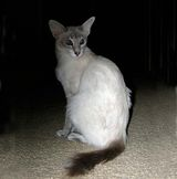 Javanese cats are much the same as Siamese as far as appearance goes. However, unlike the Siamese cats, they usually have green eyes (though they can be blue) and are long haired cats Their fur is...