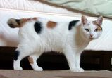 The Manx is best known for being a tailless cat, although this is not always the case. Manx cats can be completely tailless (