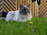 Ragdolls are semi-longhair cats, with muscular bodies and heavy bone structure. Their hind legs are slightly higher than their front. Their paws are large, round and tufted. Their coat is soft, silky...