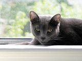 The Russian Blue is a medium sized, shorthaired breed of domestic cat. Russian Blues have long, graceful bodies, with fine and high legs and small and oval paws. Their weight ranges from 7-12 pounds....