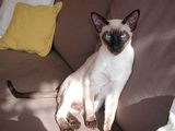 The Siamese cat is one of the most elegant and graceful breeds of domestic cat. It has a medium sized, muscular, thin, flexible and long body with a fine, thin coat. Its legs and tail are long and...