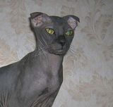 The Ukrainian Levkoy is a cat breed of a very original appearance. These cats are medium sized with long, slender and muscular bodies. They have a hairless appearance, although, much like other...