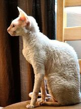 The Cornish Rex cat has a wavy coat and is small to medium in size. The Rex has a relatively small head in proportion to its body, which is rather compact and disproportionate. The back curves upward...