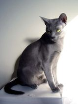 The Korat is a sleek, medium sized cat. Their coats are blue, though they are unlike other cats of this variety. The roots of the hairs are a light bluish colour, while the tips are silver. This...