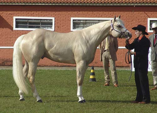 American Quarter Horse photo