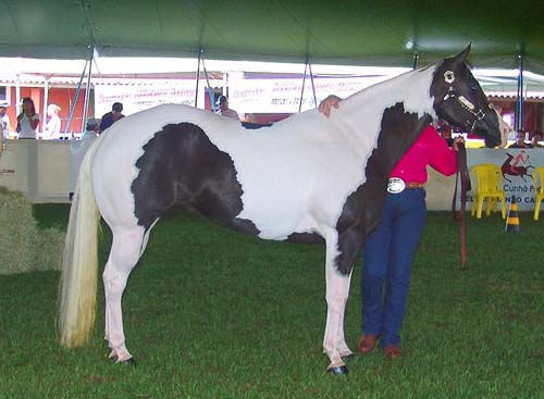 American Paint Horse photo