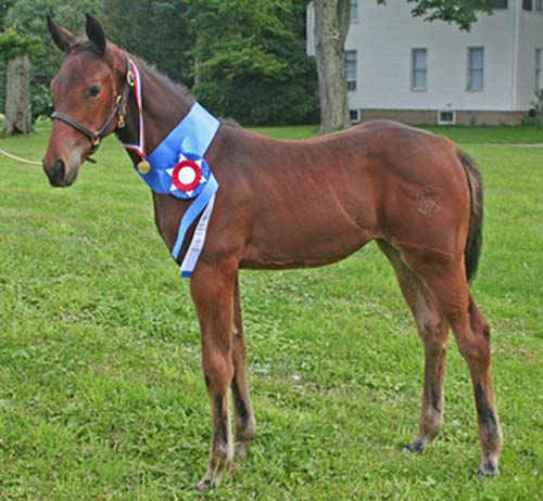 American Warmblood photo
