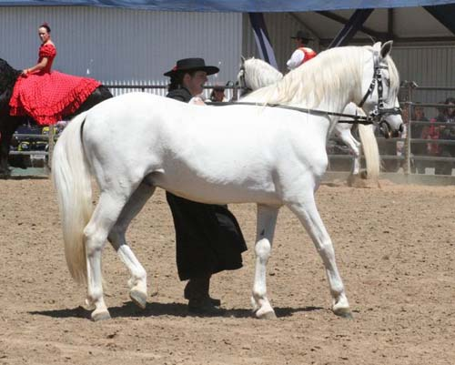 Andalusian Horse photo