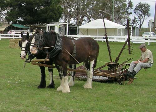 Australian Draught Horse photo