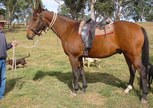 Australian Stock Horse photo