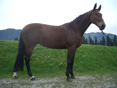 Bavarian Warmblood photo