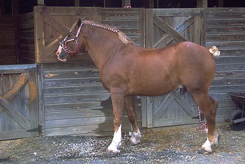 Belgian Horse photo