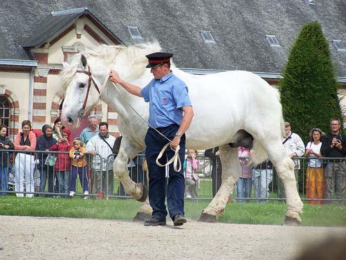 Boulonnais Horse photo