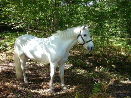 Camargue Horse photo